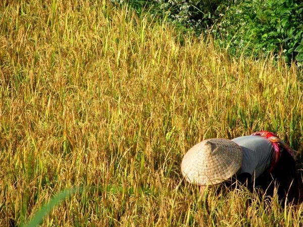 Рисовые террасы Му Кан Чай