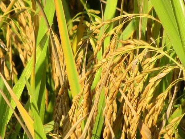 рис, Вьетнам