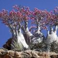 Роза Пустыни или бутылочное дерево