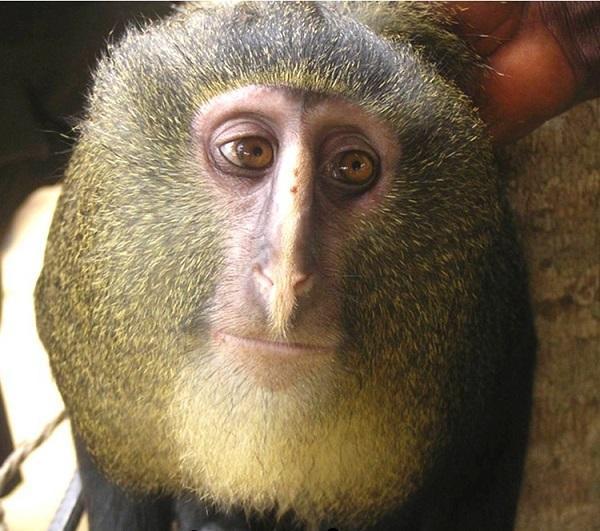 обезьяна лесула